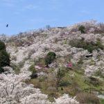 桜満開デス🌸