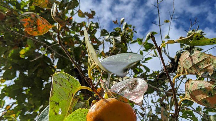 柿の季節デス😋