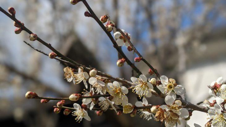梅の花、綺麗です✨